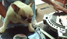 Anjing Main DJ